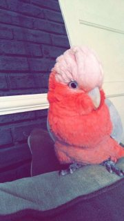 صور Gallah cockatoo 1