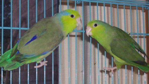 Green Celestial Parrotlets