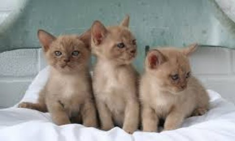 Asian kittens for sale