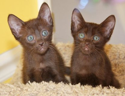 Havana Brown Kittens