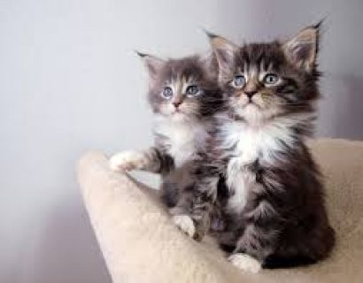 Pedigree Main Coon kittens For Sale.