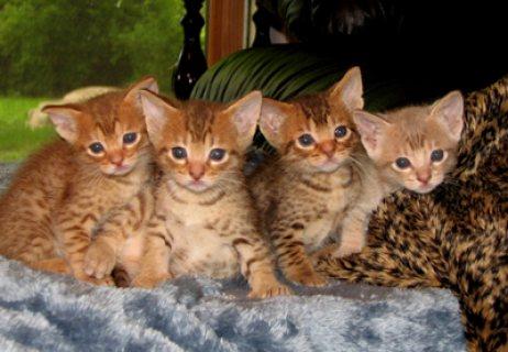 Stunning Ocicat Kittens