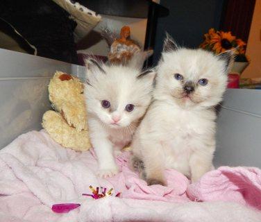 Stunning Ragdoll Kittens