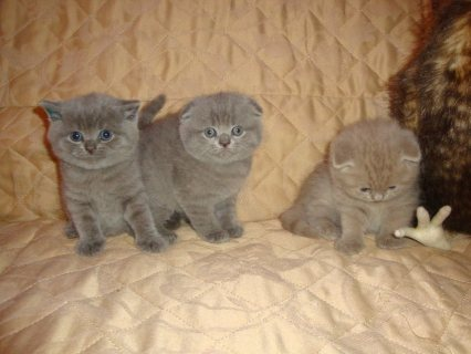 Amazing Scottish Fold Kittens