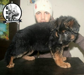 مـــاشـــاء الله لا قـــوة الا بــــالله For Sale Puppys German
