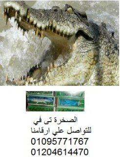 الصخرة تى فى  تقدم   . الدهان الاقوى للرجال  التمساح الاصلى