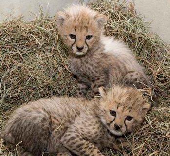 قعادة، تدرب الفهد، الجرو ذكور، أيضا، أنثى، ب، سيل