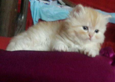 اربعة قطط شيرازى للبيع