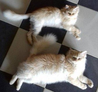 قطط شيرازي رقيقة جدا