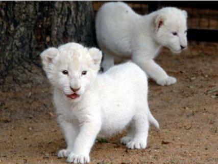 Excellent temperament Lion and Tiger cubs for sale.