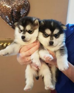 Beautiful Tiny Blue Eyed Pomsky Puppies For Sale