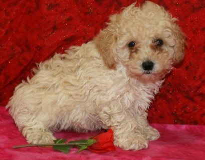 Amazing Poodle Puppies Available for sale