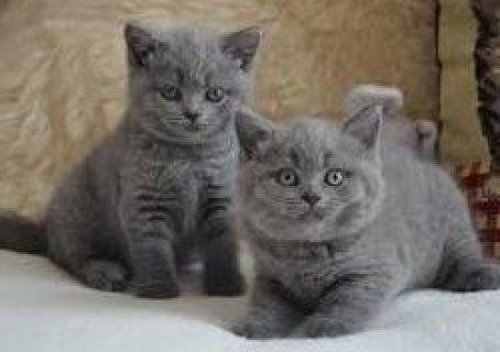 Purebred British short hair Kittens for sale