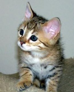 male and female Savannah kittens available to a loving home  for sale