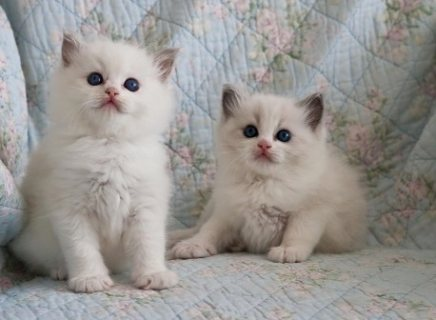 Full Pedigree Registered Ragdoll Kittens For Sale
