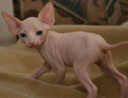Beautiful Sphynx Kittens available
