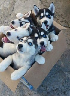Blue Eyes Siberian Husky Puppies For Sales