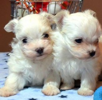 Cut and lovely Maltese for sale