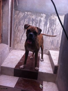 كلب بوكسر بيور وارد الخارج مدرب طاعه وشراسه