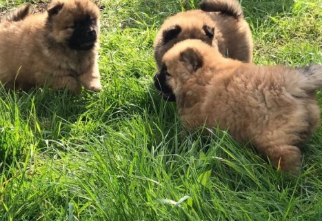 Chow Chow Puppies for sale available