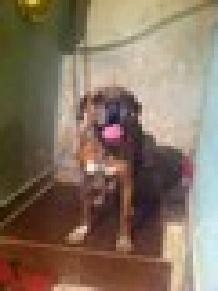 كلب بوكسر بيور مدرب شراسه وطاعه