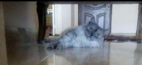 قطة شيرازي للبيع جميلة اوي
