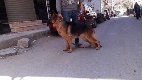 كلب جيرمن شيبرد شورت هير