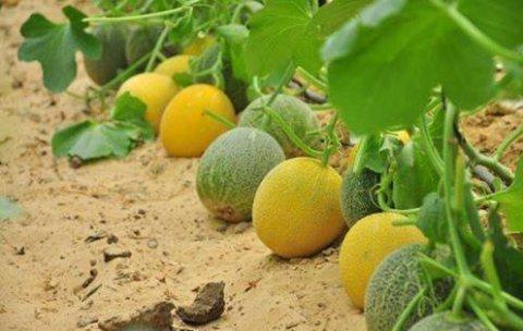 شركة كيميت للاستثمار الزراعى بتقدملك خصم 15%وهذا العرض مستمر لحد العيد