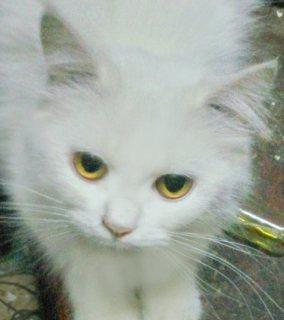 قطة شيرازي منتجة