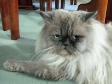 قطه وقط هيميلايا تشوكلت