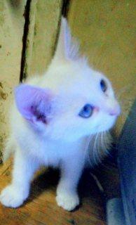 قطة شيرازي ع رومي