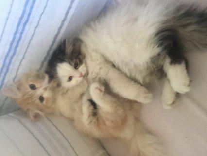 قطط شيرازى عمرهم 3 شهور