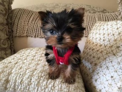 صور Male and female-Parti Yorkie For Sale 1