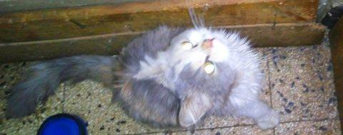 قطة كاليكو حامل شيرازي بيور مطعمة