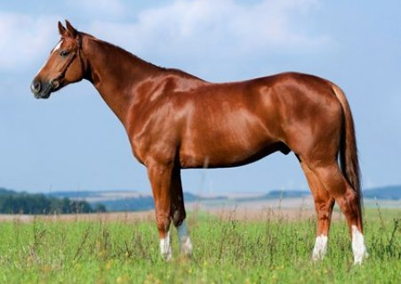Sweet Family Cob Mare For Sale