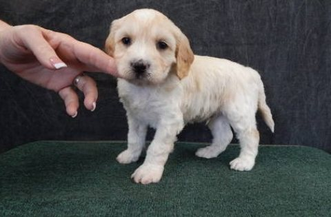 Labradoodle puppies ready for sale