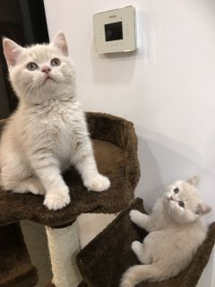 male and female scottish fold kittens