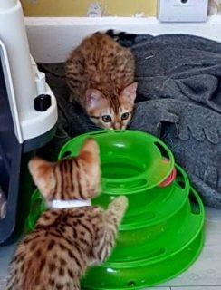 Registered Bengal Kittens for sale