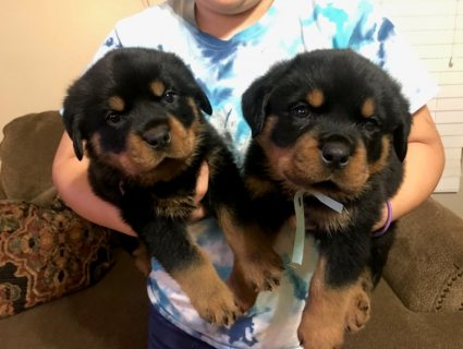 Rottweiler puppies available for good home