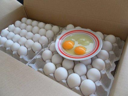 تصدير بيض الدجاج