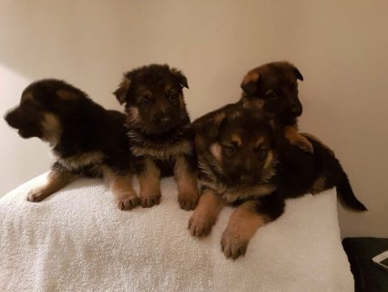 AKC Reg German Shepard Puppies For Sale