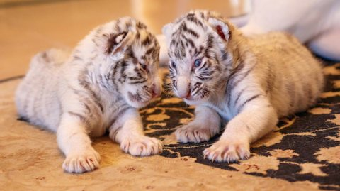 lovely white Siberian tiger cubs For sale