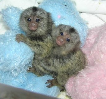 marmoset monkeys available for good new homes
