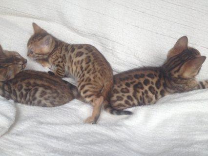 لطيف ذكر وانثي البنغال القطط المتاحة للبيع