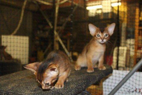 Beutifull Abyssinian kittens Ready