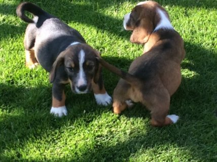 We have six Basset Hound puppies for sale.