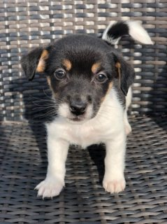 Pure-bred Jack Russell For sale