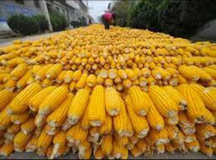 Sale  bulk yellow corn