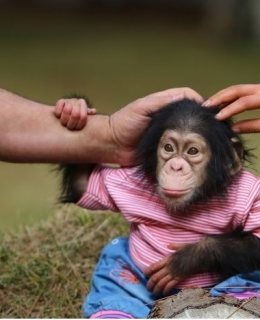 Outstanding baby chimpanzee for good homes