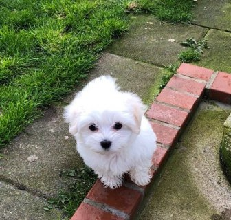 Kc Reg Maltese Puppies Puppies For Sale